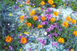 Flowerfields on the Westcoast of South Arica2