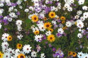 Blumenfelder im Namaqualand!
