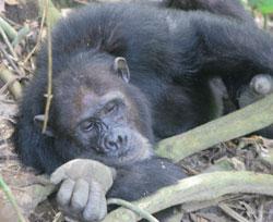 Schimpansentracking