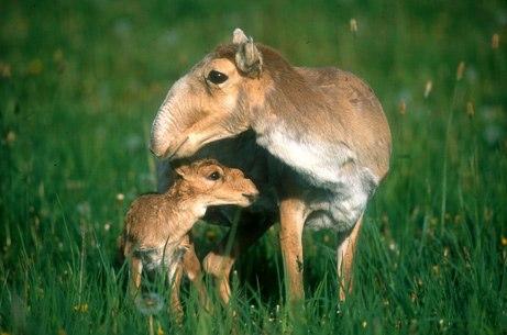 die Saiga  Antilope