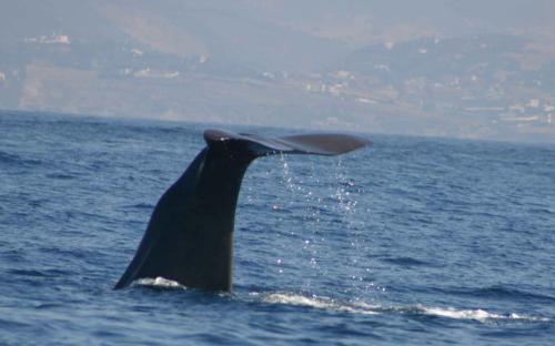 spermwhale