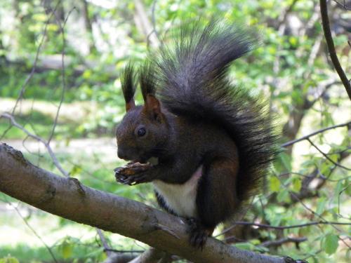 Eichhörnchen in Vatra Dornei