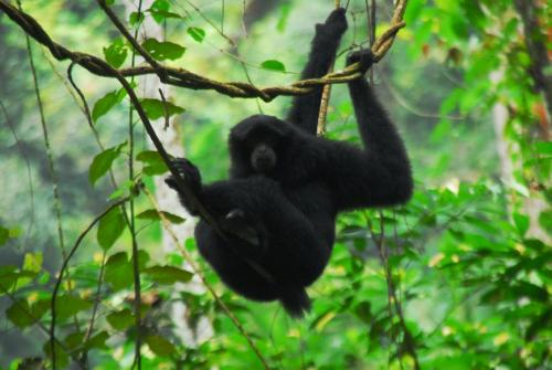 Gibbon im Gunung Leuser NP