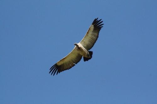 Experience Wilderness Südafrika - Kapgeier in den Drakensbergen