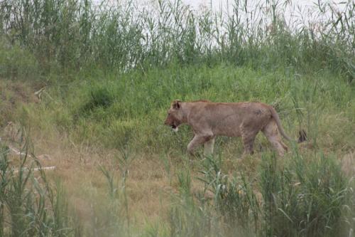 Experience Wilderness Südafrika - Flüchtende Löwin beim Wilderness Trail