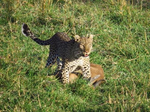 Leopard mit Kill