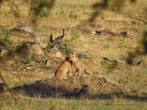 Geparden im Ruaha